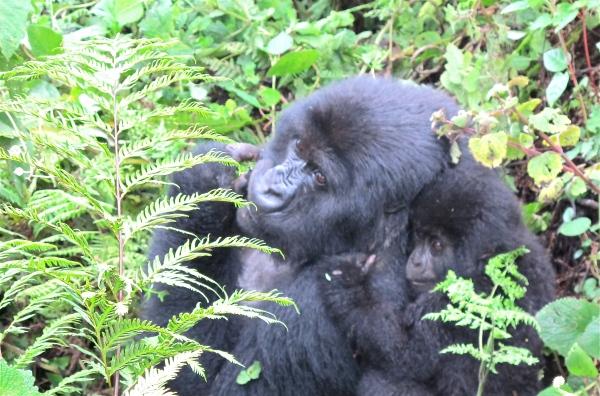 Beautiful mountain gorillas, Virunga, Rwanda